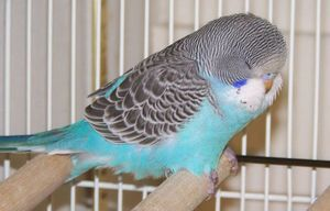 Parakeet fluffing feathers