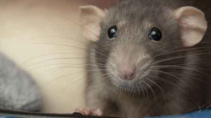 Best Humidifier for Rats